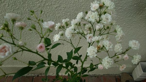 バラ(春の雪)