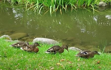 中島公園鴨