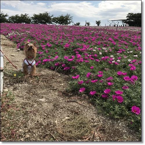 ひまわり畑IMG_0986-20170826
