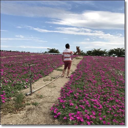 ひまわり畑IMG_0987-20170826