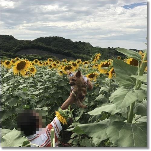 ひまわり畑IMG_0997-20170826
