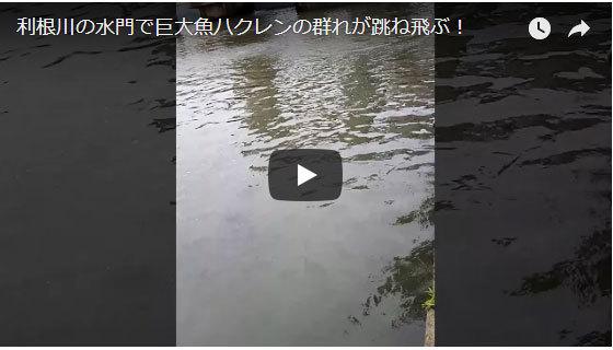 ハクレン ジャンプ 常陸利根川 茨城 巨大魚 跳ねる 飛ぶ 外来種