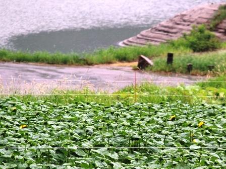 7月16日 湖畔向日葵