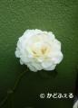 P1210819白バラ トリ30