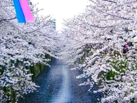 目黒川桜(1)