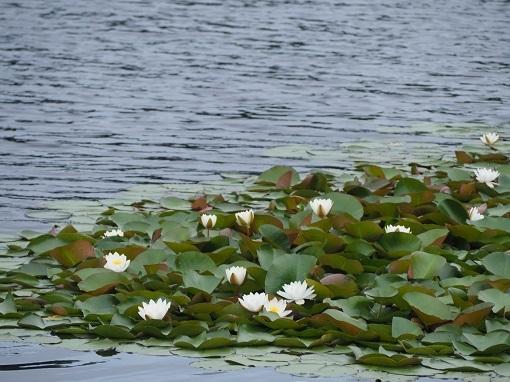 オタドマリ湖のハス