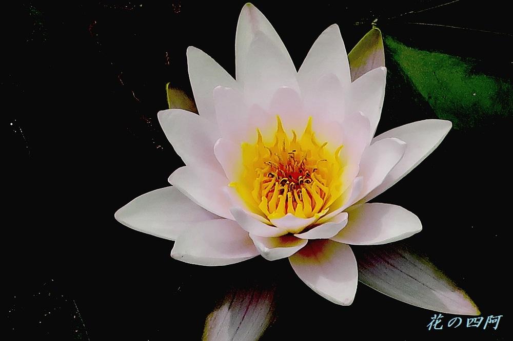 IMG_1601-睡蓮—花の四阿