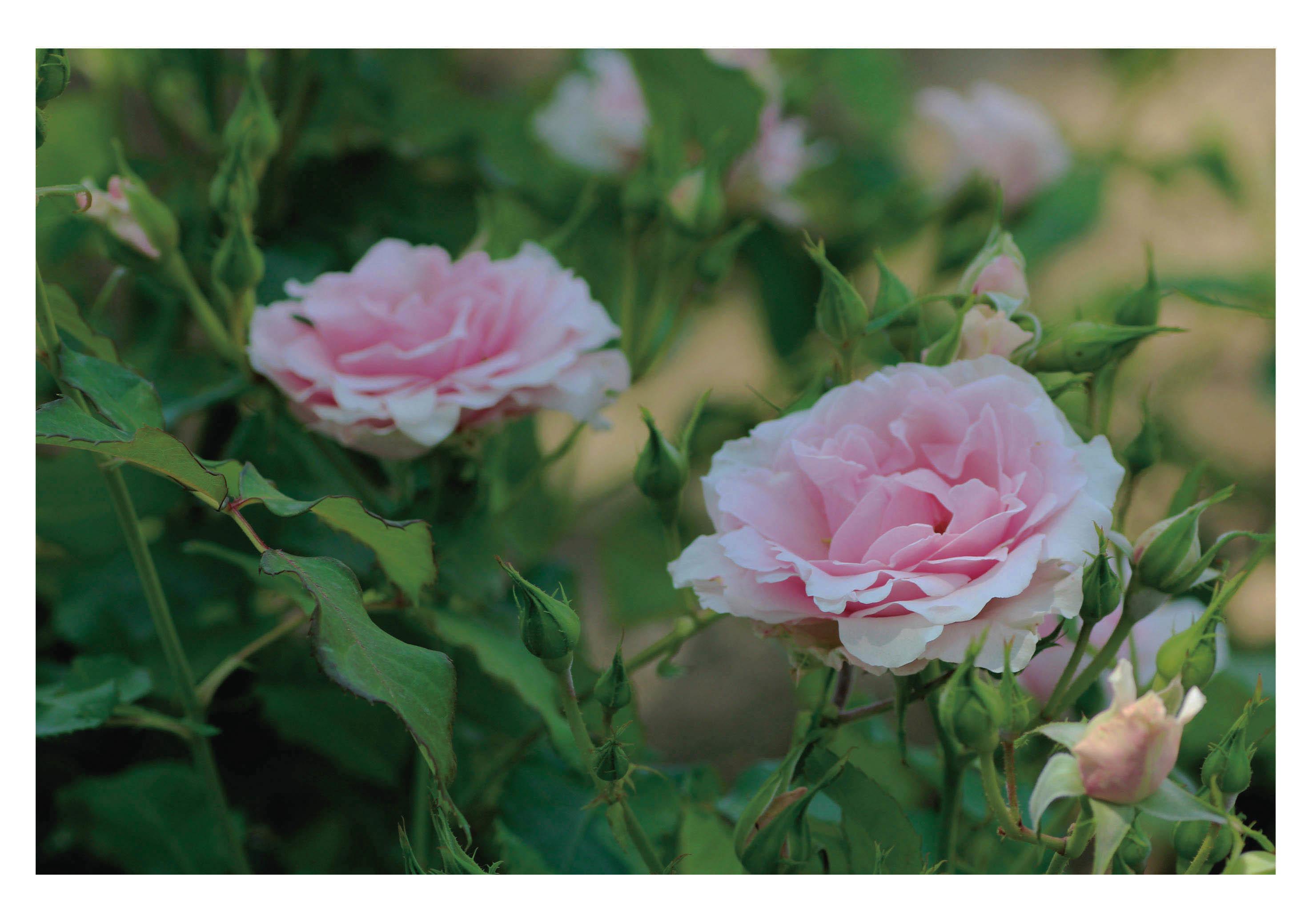 2輪の薔薇