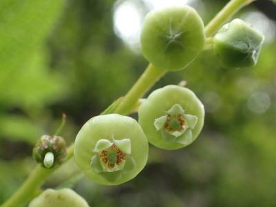 ハナヒリノキの花