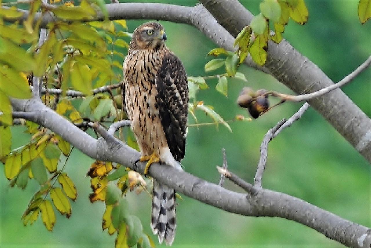 オオタカ幼鳥-109,09,25 002