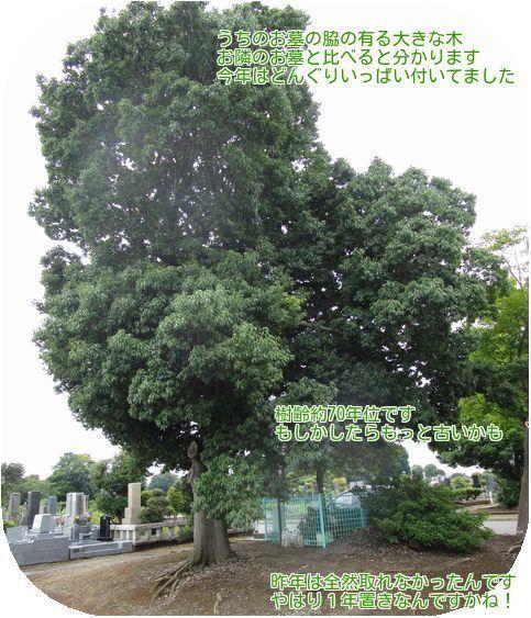 ②大きな木です
