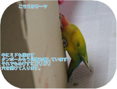 ①サーヤガリガリ