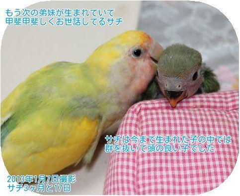④世話をするサチ