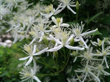 仙人草の花2