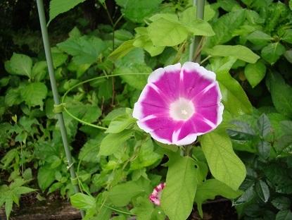 朝顔の開花