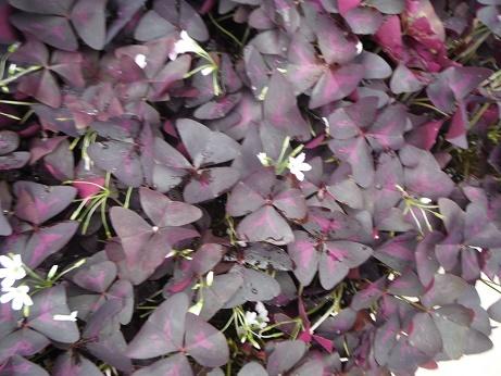 20170916 2 オキザリス 紫のまい