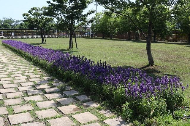ブルーサルビアの花壇