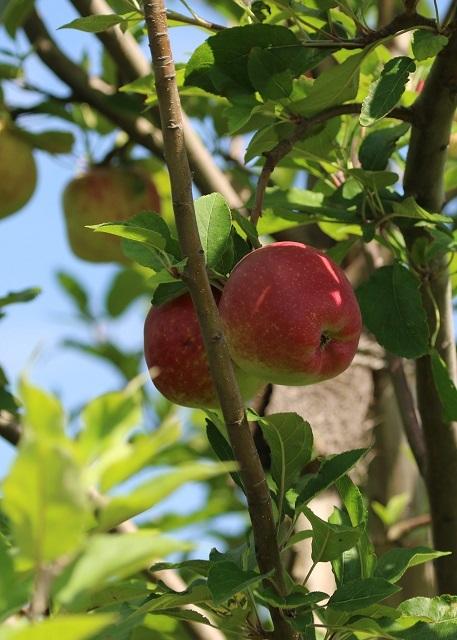 色づくリンゴ