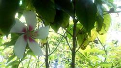 コーヒーの木とムクゲの花_R