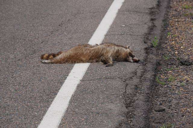Road kill (raccoon)