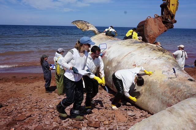 プリンスエドワード島での鯨の解剖