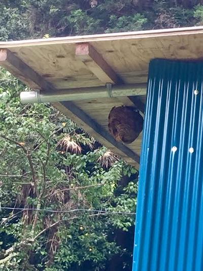 2017キイロスズメバチ
