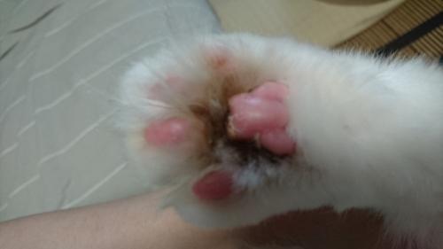 白玉猫_肉球の間黒