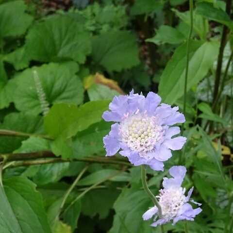 紫 スカビオサ