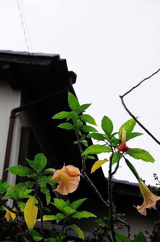 キダチチョウセンアサガオ02