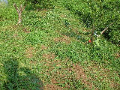 7.14果樹回りも草刈