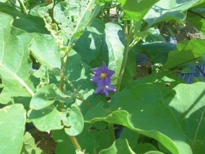 7.16タイナスの花