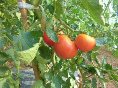 7.16ハウスのトマト