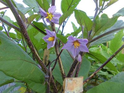 7.16山形梵天丸の花