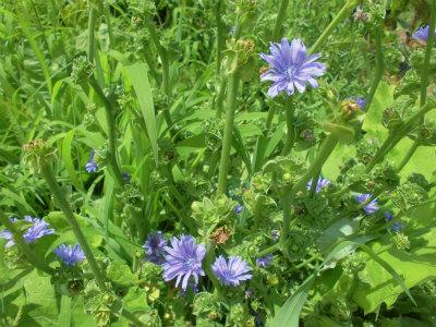 7.16島チシャ菜の花