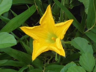 7.16瓢簞カボチャの花