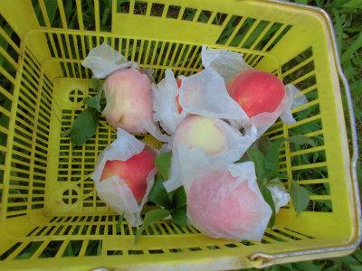 7.17桃の収穫