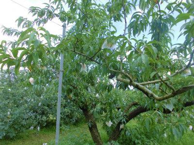 7.17桃の木1