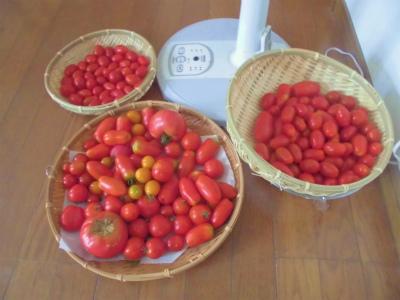 7.29収穫したトマト