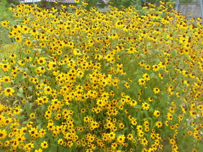 8.26空地の花1