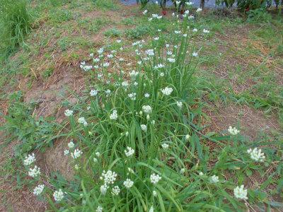 9.2ニラの花
