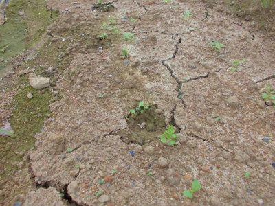 9.22獣の足跡から新潟薹菜発芽
