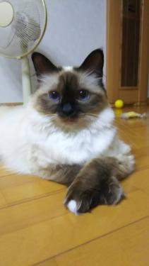 幸運を運ぶバーマン子猫 ーノアちゃんー