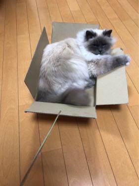 幸運を運ぶバーマン子猫 ーマーニちゃんー