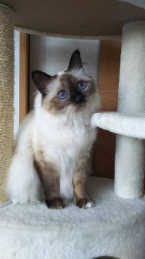 幸運を運ぶバーマン子猫 – ノアちゃん –