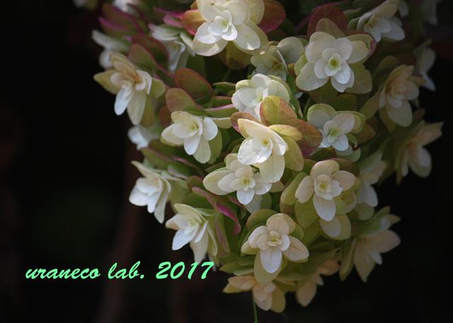 7月6日柏葉紫陽花