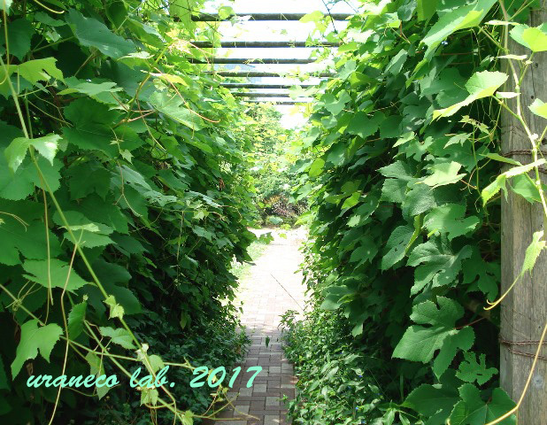 7月7日葡萄の小道