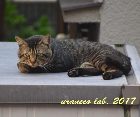 7月13日雉猫5