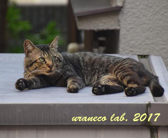 7月13日雉猫3