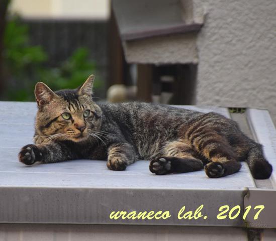 7月13日雉猫