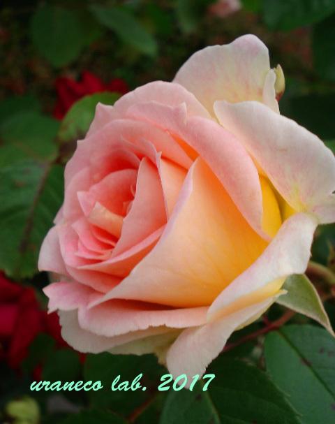 7月7日薔薇2